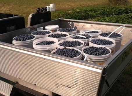 U-Pick Blueberries are abundant!