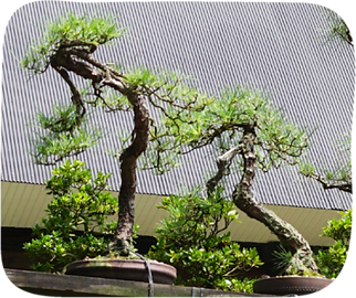 家の前nに並ぶ盆栽