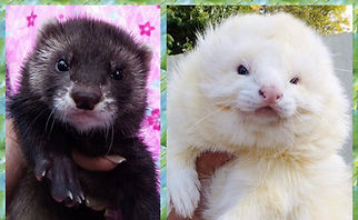 UK Ferret Breeders