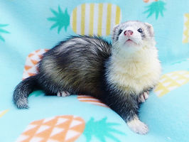 UK Ferret Breeders