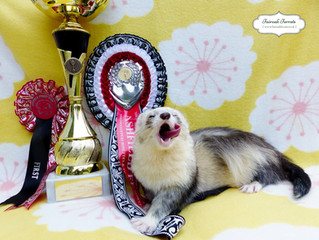 ENTEI Takes BIS At Ashfield Ferret Show!