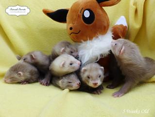5 Week Old Eeveelutions!