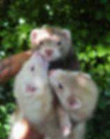 Ferret Breeders