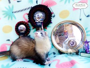 Ferret Show Season!