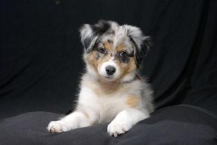 Australian Sheperd aussie puppy dog on b