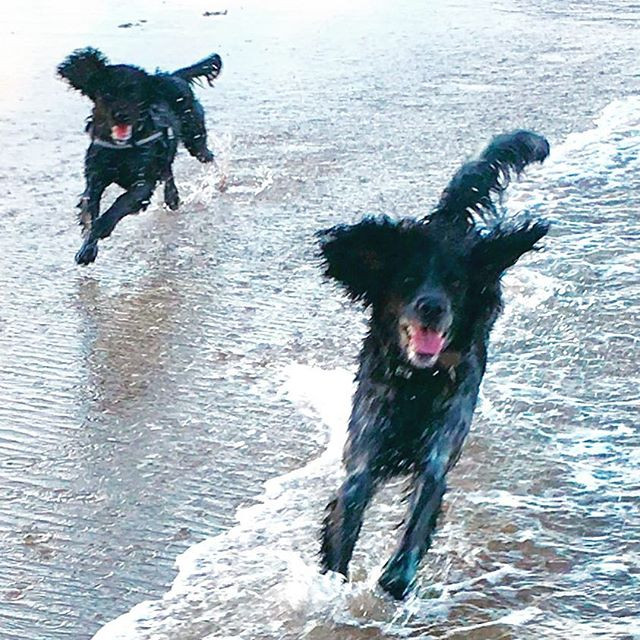 #happiness is.... #spanielsofinstagram #