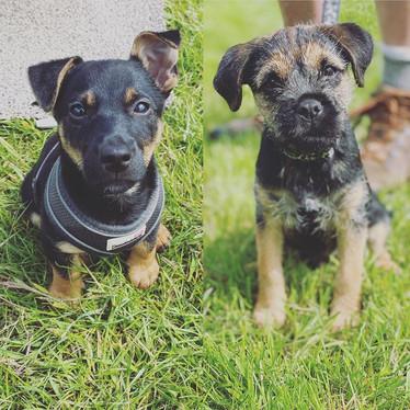 terrier pups.jpg