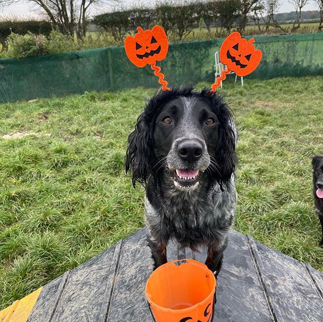 Halloween  #sprockerspaniel #sprockersof