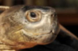 Chinesische-Rothals-Schildkröte-003.jpg