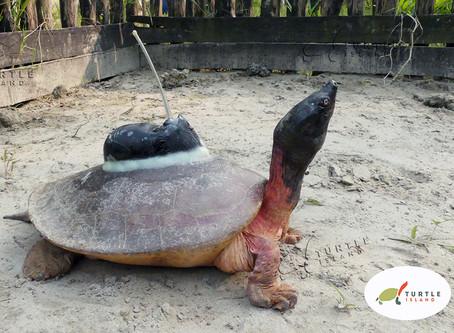 Satellitensender sollen helfen die Nördliche Batagur-Schildkröte zu erforschen