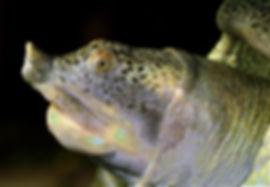 Jangste-Weich-Schildkröte_-_001-min.jpg