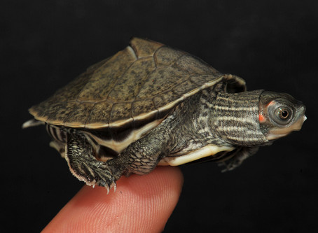 First breeding success of the Brahmaputra Tent Turtle