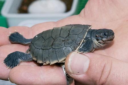 Batagur-Fluss-Schildkröte-002.jpg