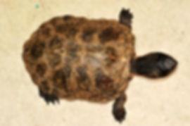 Chinesische-Rothals-Schildkröte-002.jpg