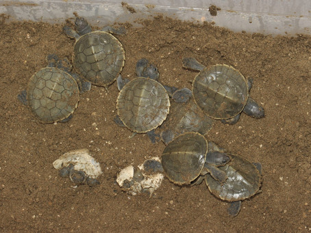 Batagur baska: 24 hatchlings emerge out of 28 eggs, new record!
