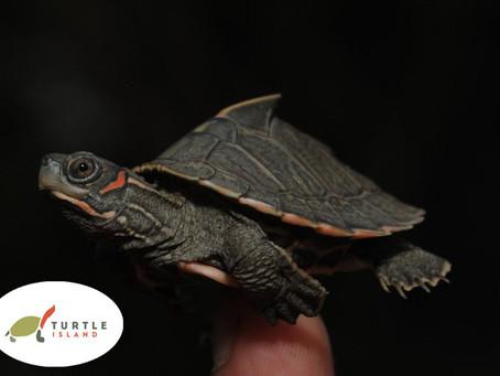 Assam-Dachschildkröte geschlüpft