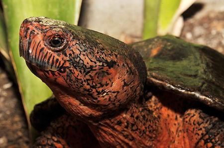 Chinesische-Rothals-Schildkröte-001.jpg