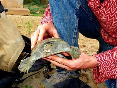 Jangste-Weich-Schildkröte_-_002-min.JPG