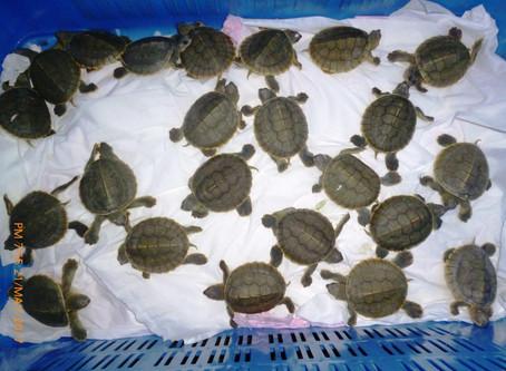 118 Schlüpflingen der vom Aussterben bedrohten Batagur-Schildkröten in Bangladesh