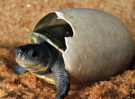 The Batagur baska hatching at Turtle Island is complete!