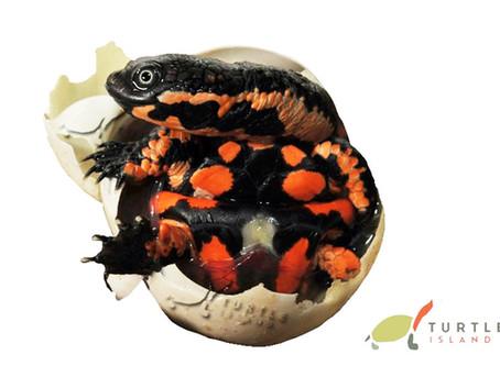 Die ersten zwei südamerikanischen Schlangenhals-Schildkröten sind geschlüpft