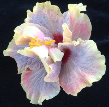Welcome to the Hibiscus Lady Blog!