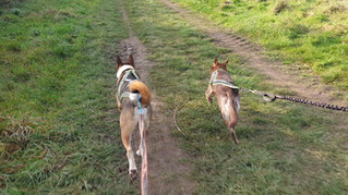 Canicross Basics - Which Dogs Should/Shouldn't Run?