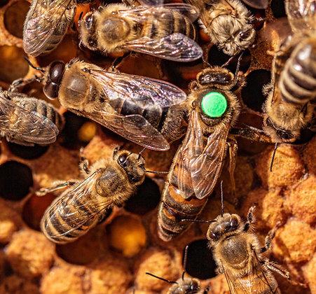 Wir gegen Bienensterben - Königin + Drohn