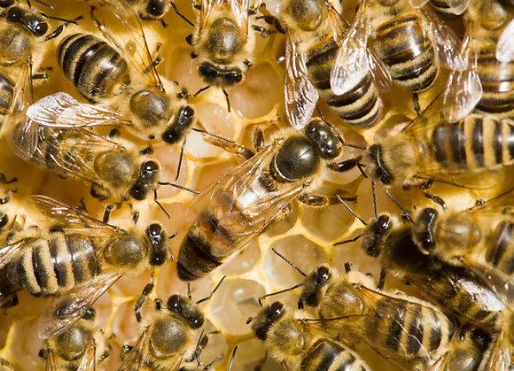 Wir gegen Bienensterben - Königin