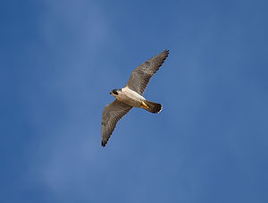 Peregrine by Scott Hein_2.jpg