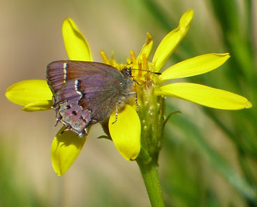 Muir's Hairstreak