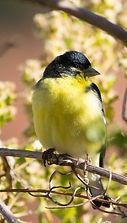 Spinus psaltria 6 (Lesser Goldfinch).jpg