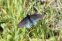 California Pipevine Swallowtail