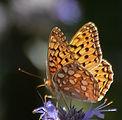 Coronis Fritillary