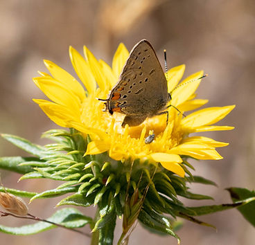 California Hairstreak