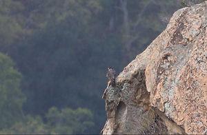 Peregrine-Cliff-2020-05-02.jpg