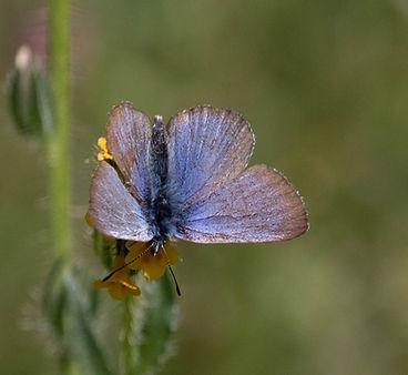 Behr's Silvery Blue