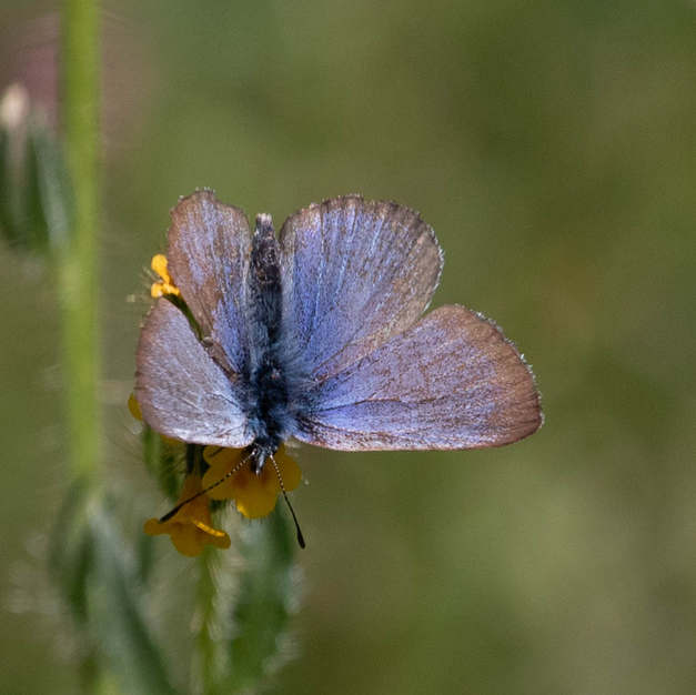 Blues, Coppers, Hairstreaks