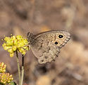 Great Basin Wood-Nymph