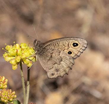 Great Basin Wood-Nymph