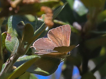 Golden Hairstreak