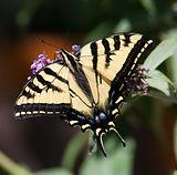 Butterflies of Mount Diablo
