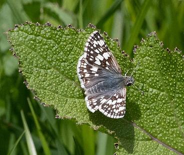 Common Checkered-Skipper