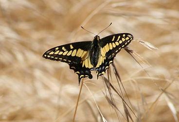 Anise Swallowtail