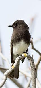 Sayornis nigricans 5 (Black Phoebe).jpg