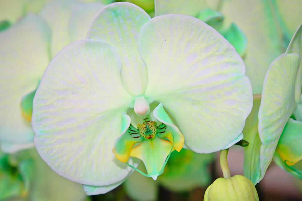 Orquidea verde.jpg