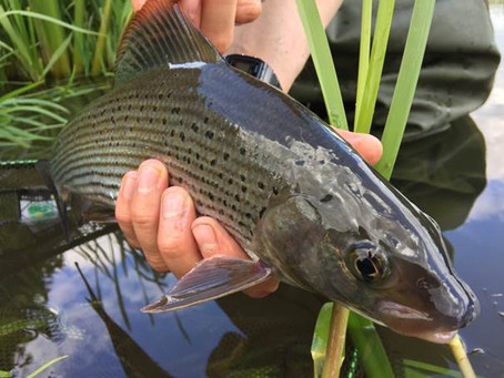 New grayling research published in Fisheries Research