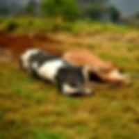 Morte de 2 vacas em lactação por anaplas