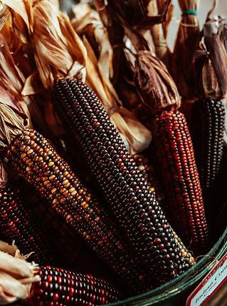 harvest-corn.jpg