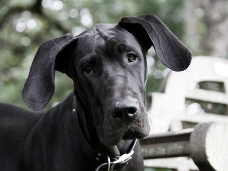 Osteochondrosis dissecans (OCD) beim Hund